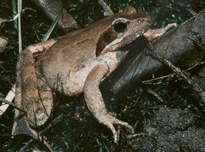 Italienischer Springfrosch