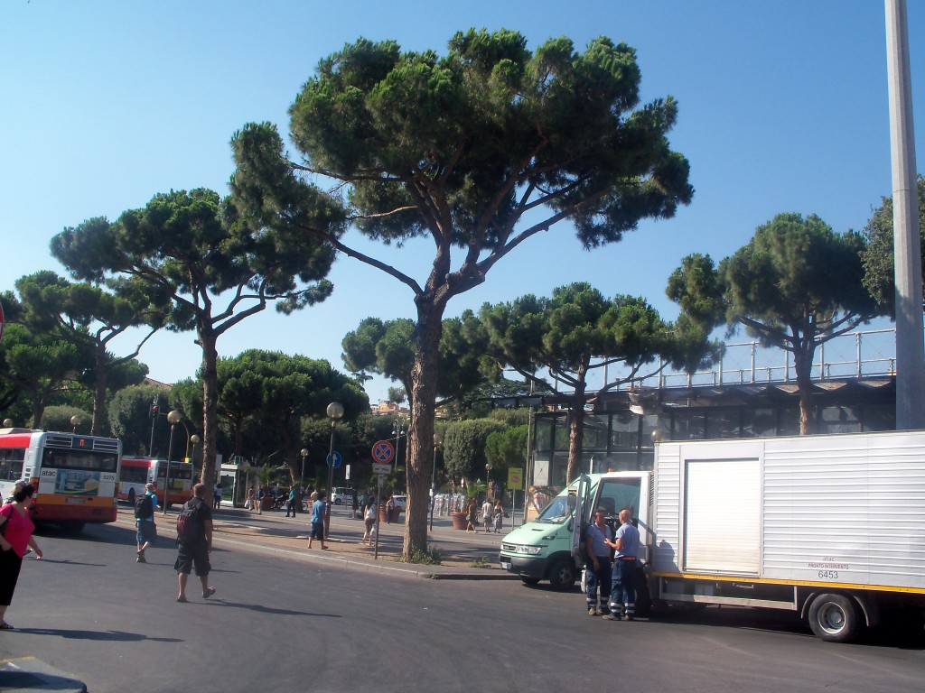 Pinus pinea am Termini in Rom